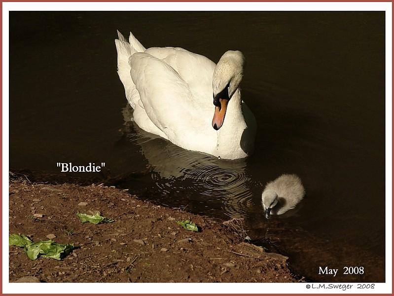 Mute Swan Blondie