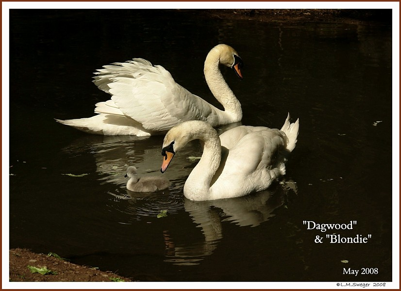 Mute Swans Dagwood Blondie