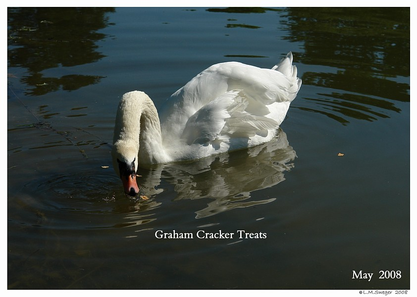 Swans Cereal Snack Mix  Graham Crackers Captive Mute Swans Feeding Swans