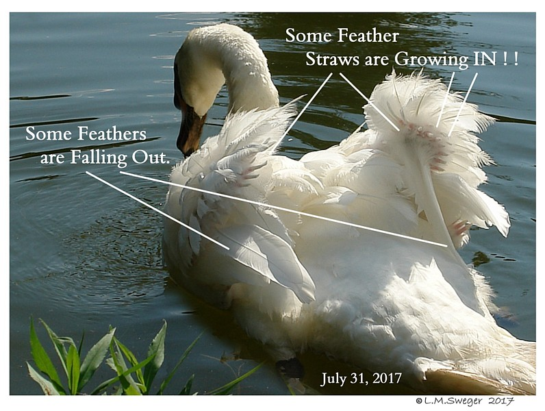 Mute Swan Blood Feathers SWAN MOULTING Feathers