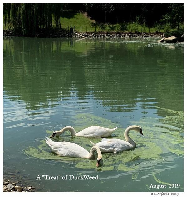 Fresh Pond DuckWeed Captive Mute Swans Feeding Swans