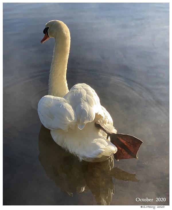 Polish Mute Swan Male