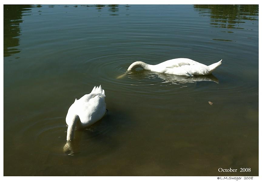 Common Behavior  Swans Grazing Under Water