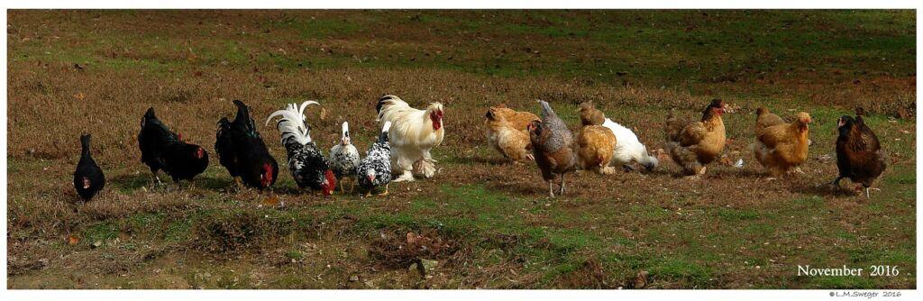 Back Yard Chickens Feeding Swans