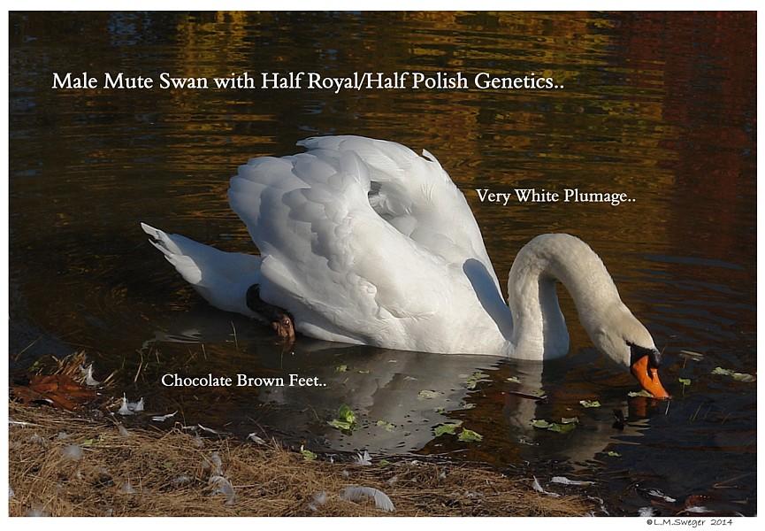 Mute Swan Male   Royal Polish