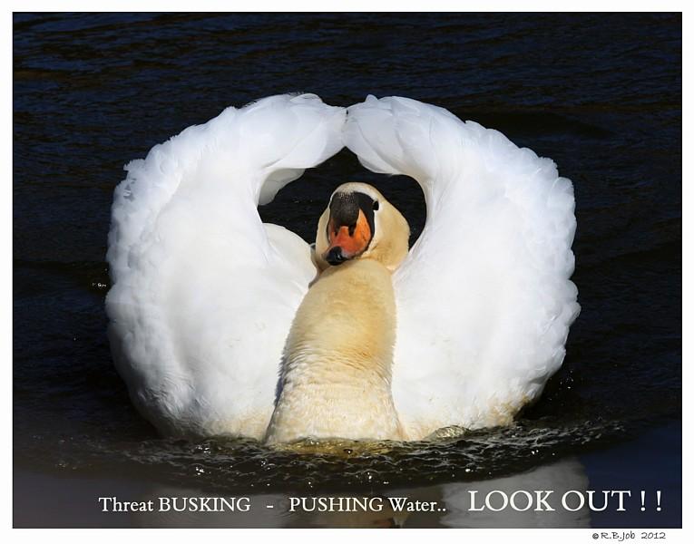 Busking Aggressive Mute Swan Cob