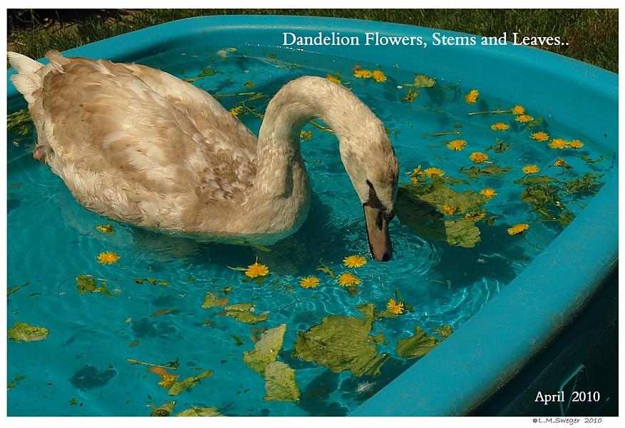 Dandelion Swans are Vegetarians
