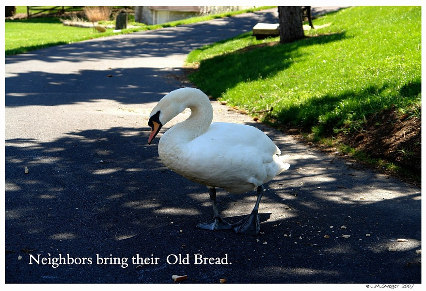 Swan Bread Poor Diet