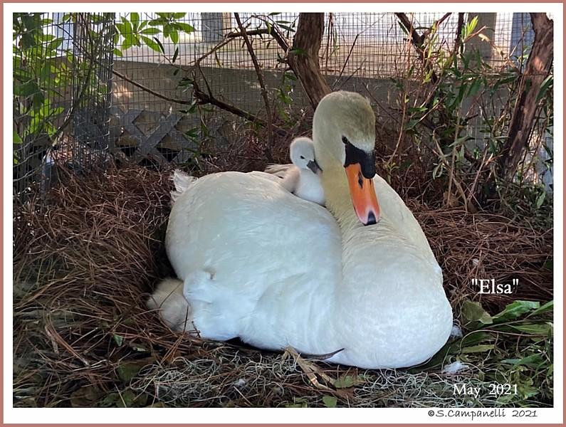 Mute Swan Female Elsa