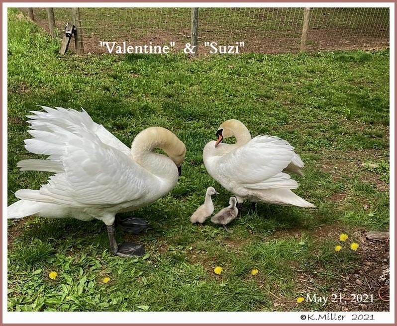 Mute Swans Valentine Suzi