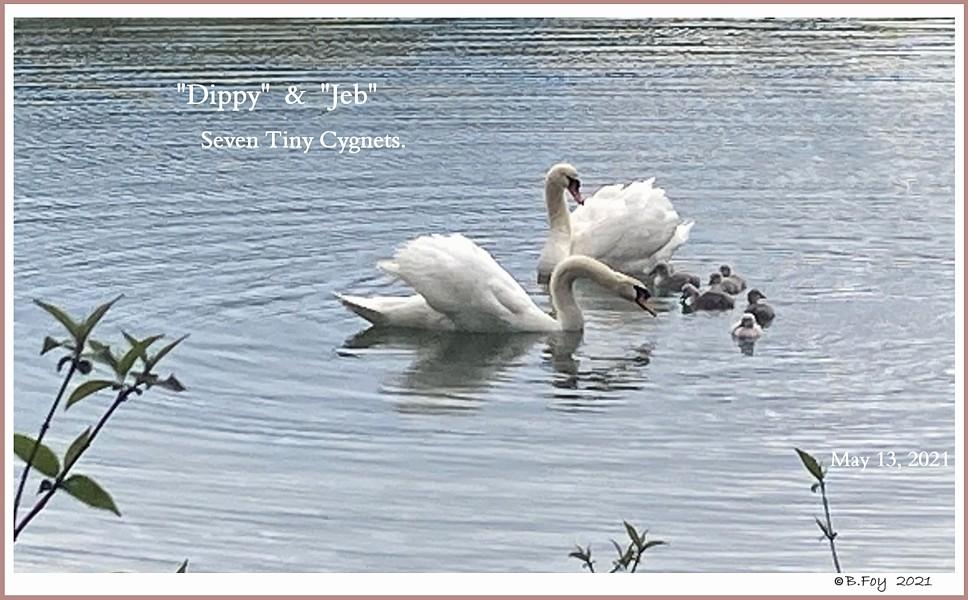 Mute Swan Jebidiah Dippy Cygnets