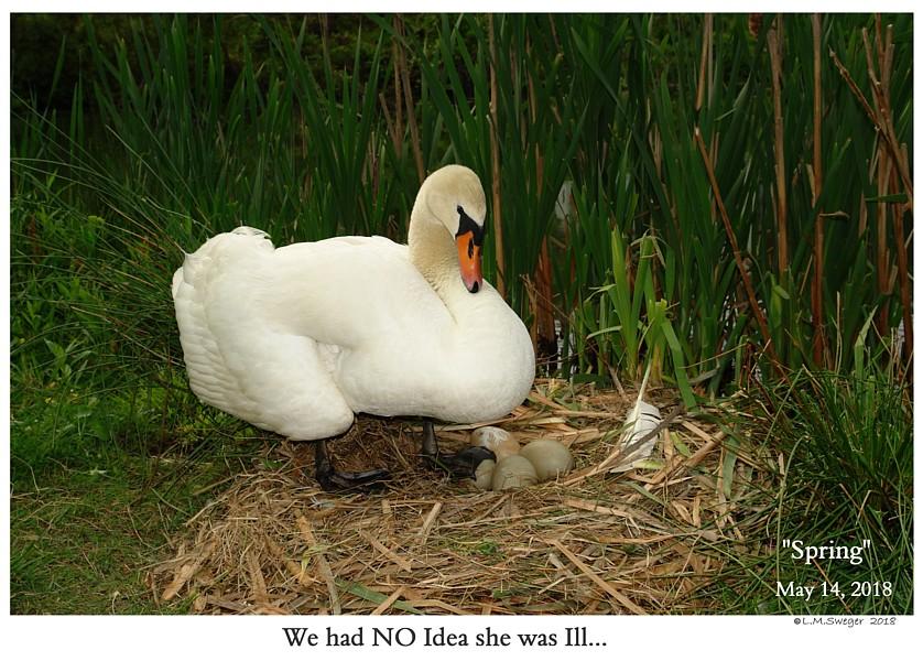 NO Bread Poor Diet for Swans Clostrida Botulism