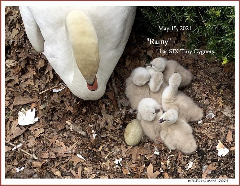 Female Mute Swan Rainy