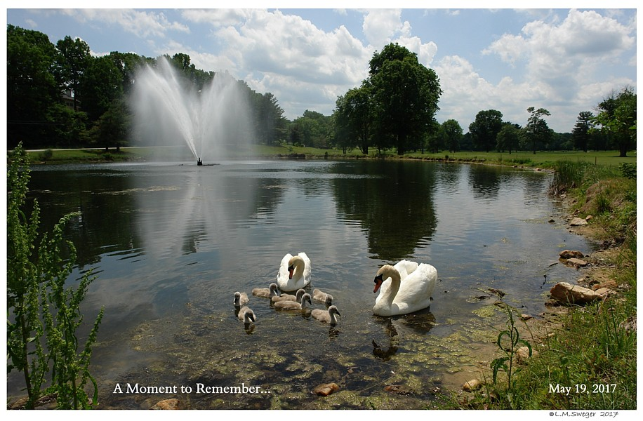 Mute Swan Family on Pond Do NOT Feed them Bread