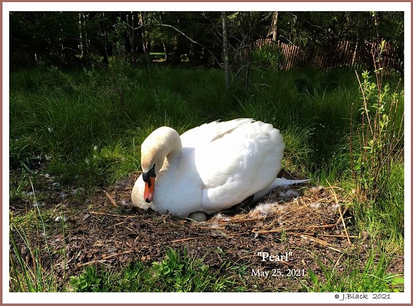 Female Mute Swan Pearl