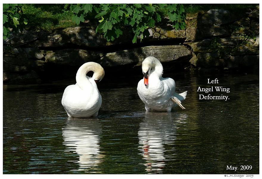 Swans Bread  Angel Wing Deformity