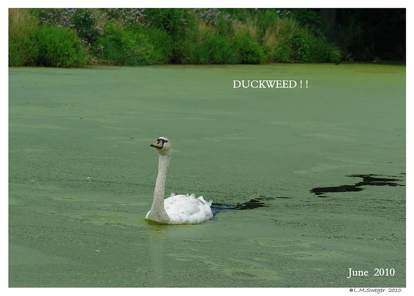 Swans are VegetariansDuckweed