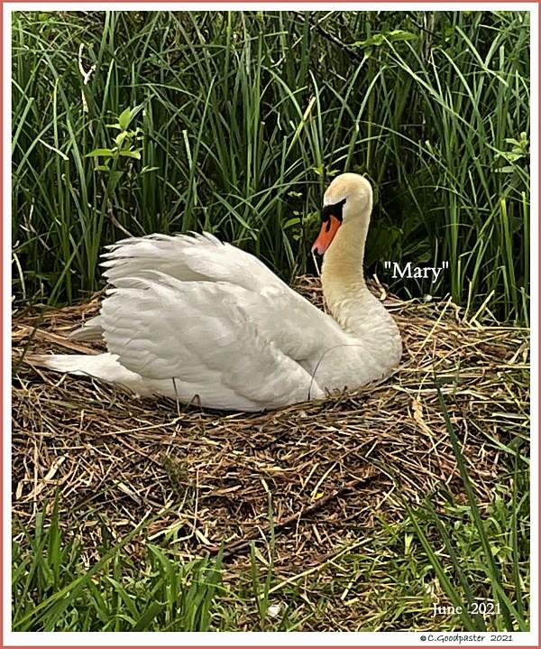 Female Mute Swan Mary