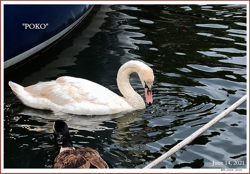 Rescued Male Mute Swan POKO