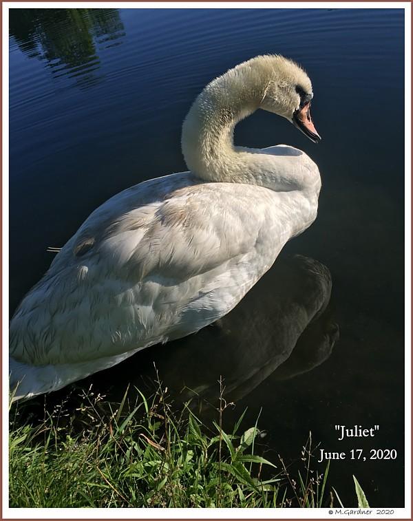 Female Mute Swan Juliet