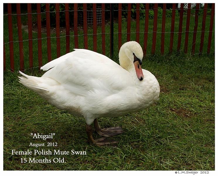 Swan Cygnet Fragile Bones  Improved Diet
