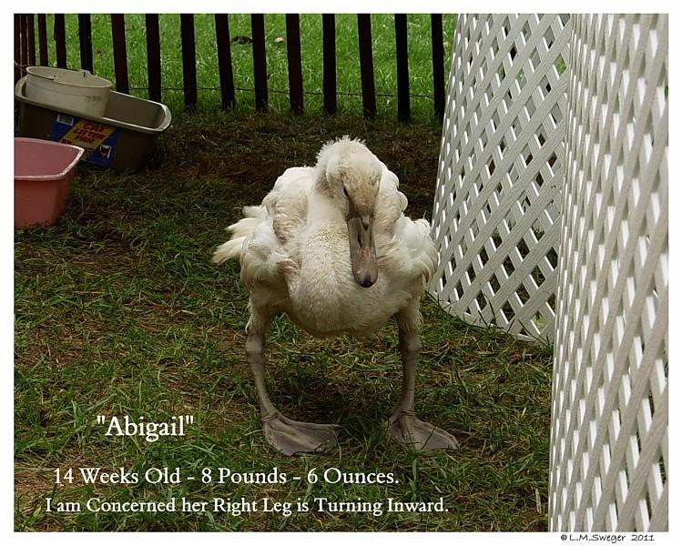 Swan Cygnet Fragile Bones