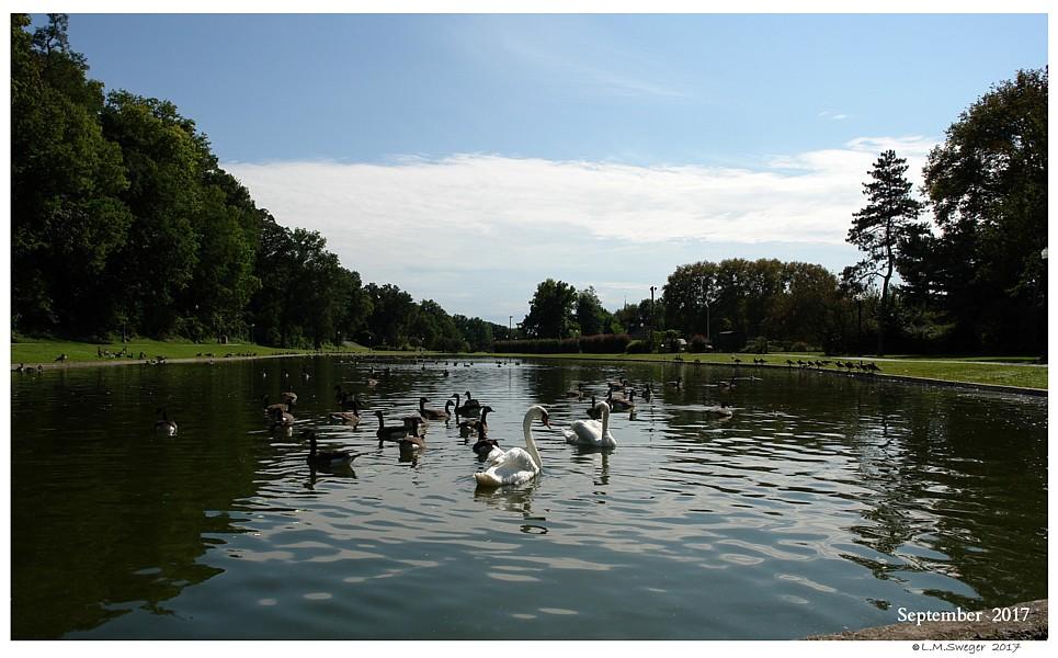 Public Park  Swans are Vegetarians