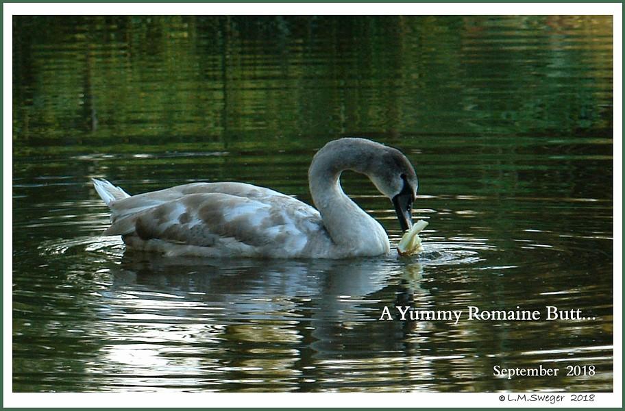Swans are Vegetarians Romaine Lettuce