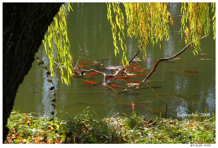 Swans are Vegetarians Pond Koi Fish