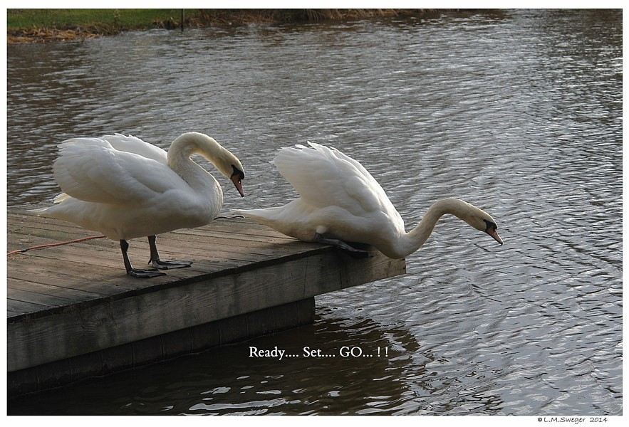 Silly Swans  Teasing  Playing  Happy Fun