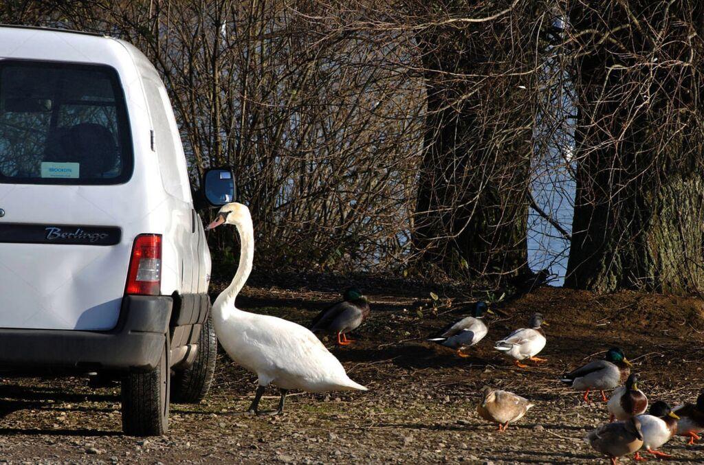 Feeding Swans Bread