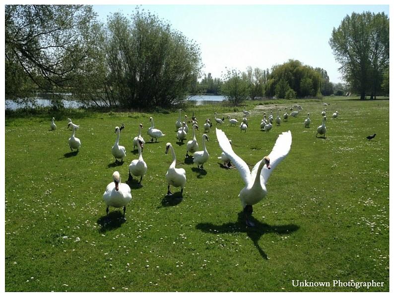 Feeding Bread Swans  Poor Diet