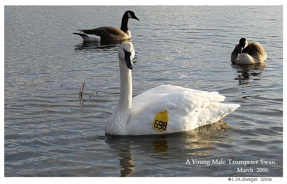 ID Leg Banding for Swans