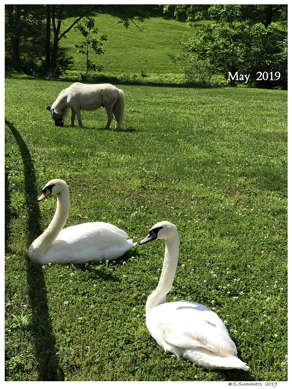 Horse Hair Shed Swan Under Chin-Tongue Bulge Impaction
