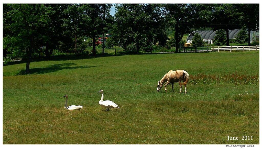 Pasture Horses  Aggressive Mute Swan Cob