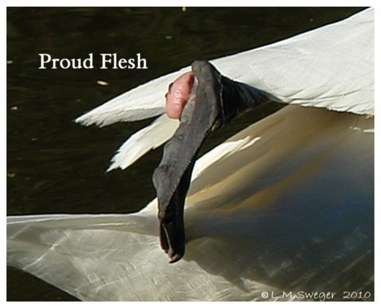 Mute Swan Proud Flesh on Foot  Swans DNA-Sex Testing