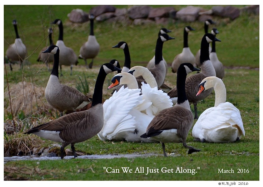 SWANs SAME SEX Mute Male Pairs Migrating Canada Geese