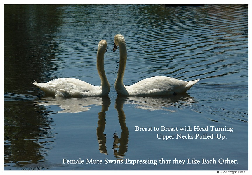 SWANs Same Sex Mute Female Pairs