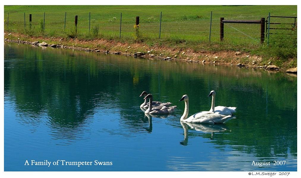 BREEDING BROOD SWAN Pairs Trumpeter Swans