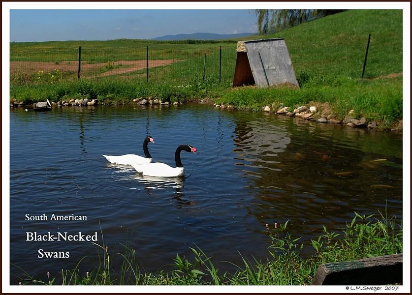 BREEDING BROOD SWAN Pairs Black Necked Swans
