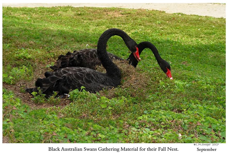 BREEDING BROOD SWAN Pairs Black Australian Swans