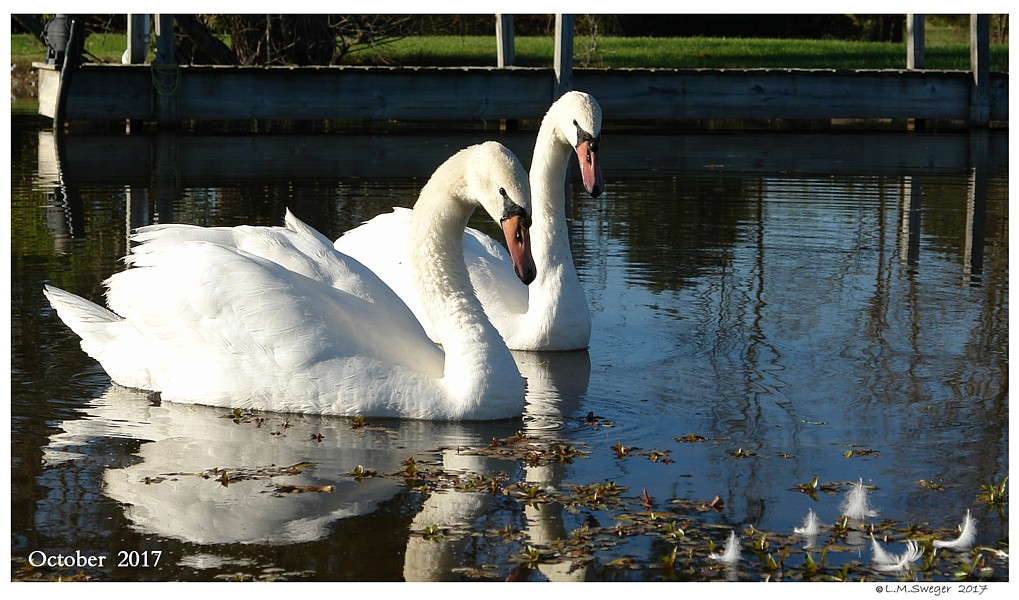 SWANs SAME SEX Mute Male Pairs