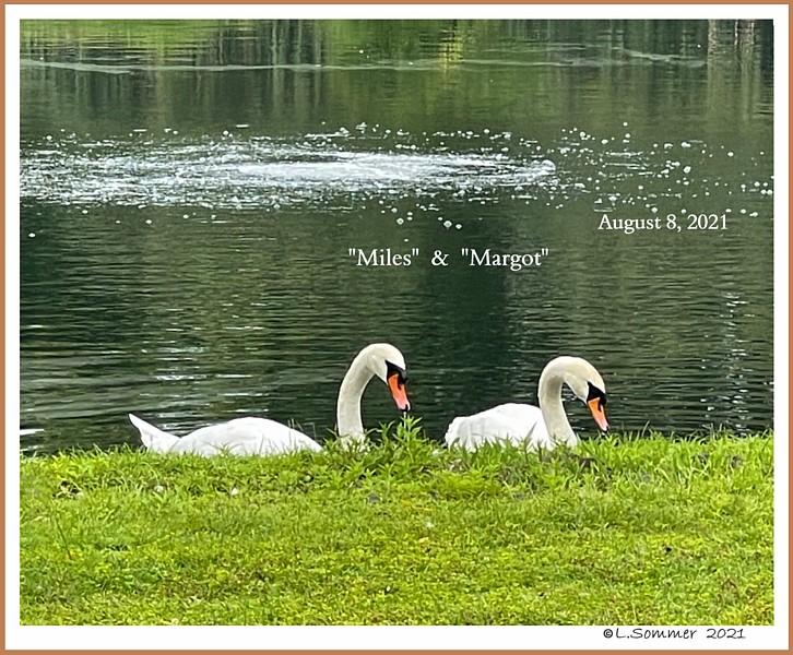 Mute Swans Miles & Margot