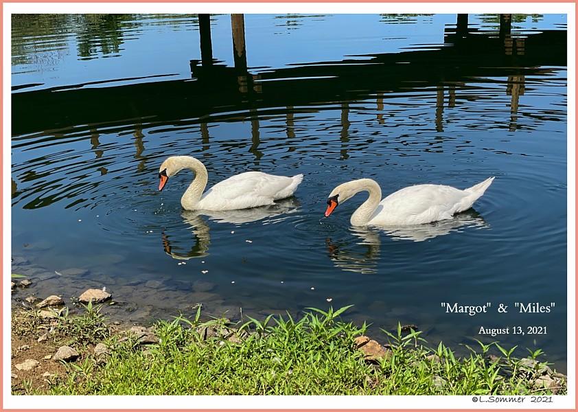 Mute Swans Margot & Miles