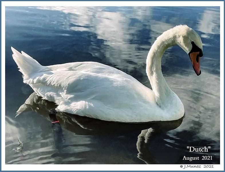 Mute Swan Dutch