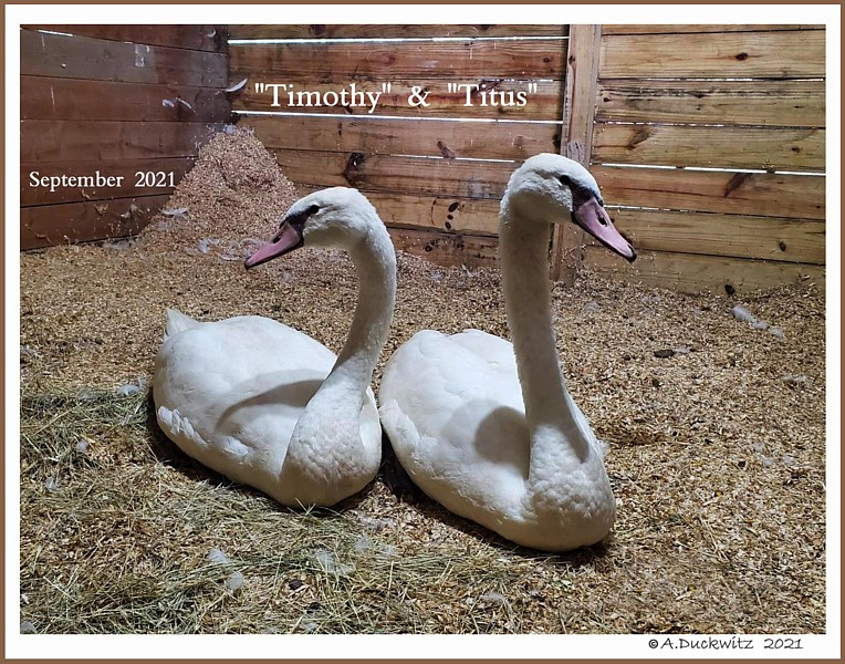 Polish Mute Swan Cygnets Timothy  &  Titus