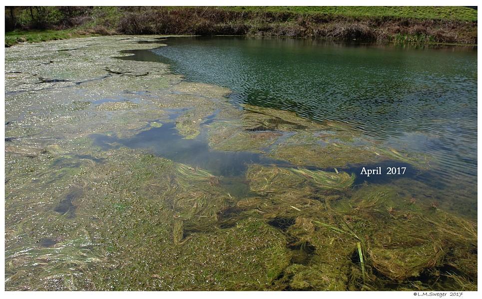 Working with Swans Pond Algae
