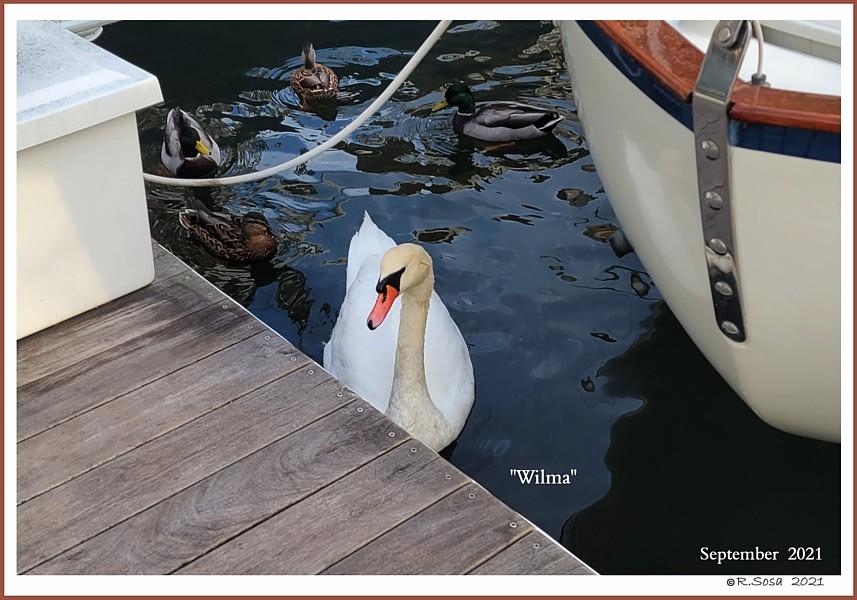 Female Mute Swan Wilma