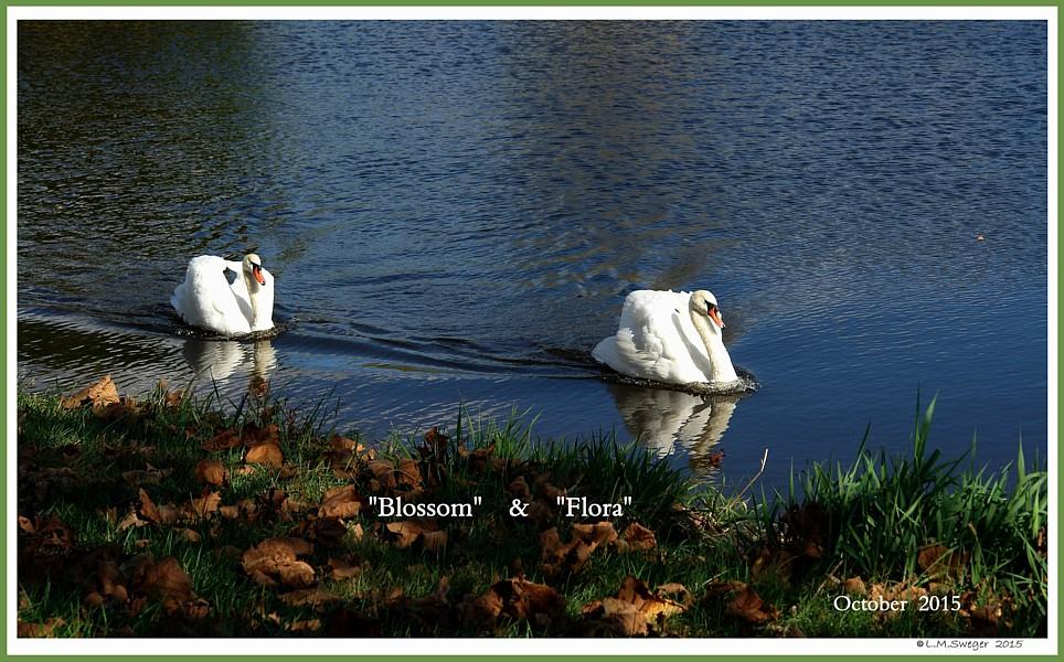 Female Mute Swan Blossom Female Mute Swan Flora