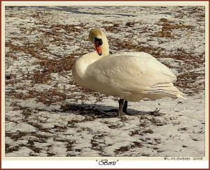 Royal Mute Swan Boris